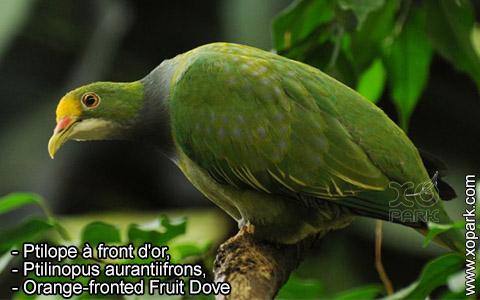 Ptilope à front d'or – Ptilinopus aurantiifrons – Orange-fronted Fruit Dove – xopark4