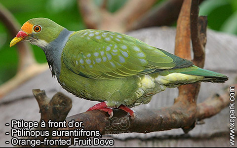 Ptilope à front d'or – Ptilinopus aurantiifrons – Orange-fronted Fruit Dove – xopark5