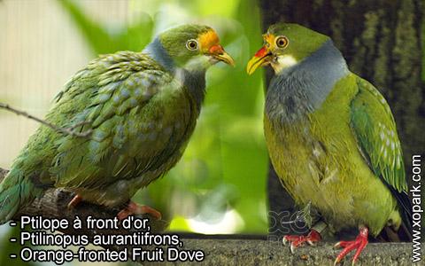 Ptilope à front d'or – Ptilinopus aurantiifrons – Orange-fronted Fruit Dove – xopark6