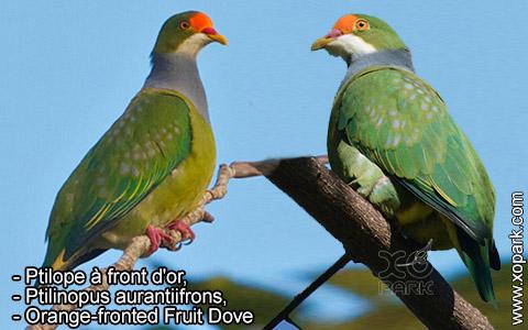 Ptilope à front d'or – Ptilinopus aurantiifrons – Orange-fronted Fruit Dove – xopark7