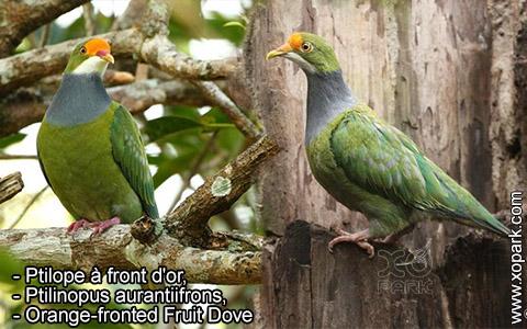 Ptilope à front d'or – Ptilinopus aurantiifrons – Orange-fronted Fruit Dove – xopark8