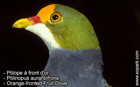 Ptilope à front d'or – Ptilinopus aurantiifrons – Orange-fronted Fruit Dove – xopark9