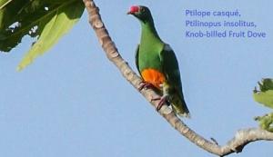 Ptilope casqué, Ptilinopus insolitus, Knob-billed Fruit Dove