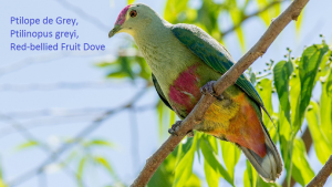 Ptilope de Grey, Ptilinopus greyi, Red-bellied Fruit Dove
