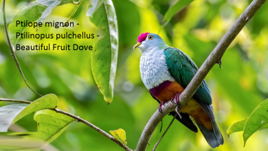 Ptilope mignon - Ptilinopus pulchellus - Beautiful Fruit Dove