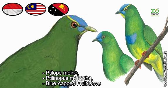 Ptilope moine, Ptilinopus monacha, Blue-capped Fruit Dove