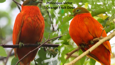 Ptilope orange Ptilinopus victor Orange Fruit Dove