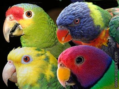 Psittacidae : Perroquets