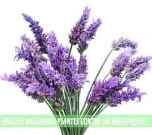 Lavender / Lavande