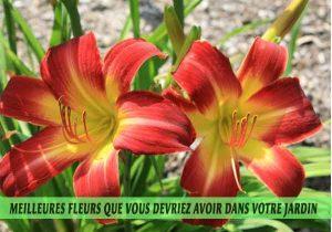 Daylilies / Hémérocalle / Hemerocallis