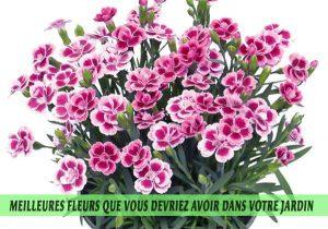Dianthus-Meilleures-fleurs-que-vous-devriez-avoir-dans-votre-jardin