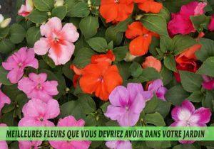 Impatiens---Impatiens-walleriana-Meilleures-fleurs-que-vous-devriez-avoir-dans-votre-jardin