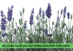Lavender / Lavande / Lavandula