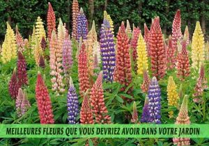 Lupines / Lupinus, les lupins