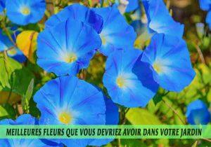 Morning-Glories---Ipomoea-tricolor-Meilleures-fleurs-que-vous-devriez-avoir-dans-votre-jardin