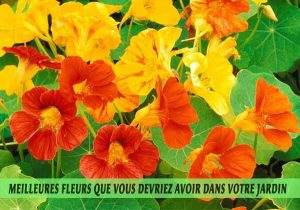 Nasturtium-Meilleures-fleurs-que-vous-devriez-avoir-dans-votre-jardin