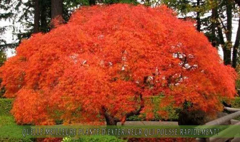 Érables   : meilleure plante d'extérieur qui pousse rapidement