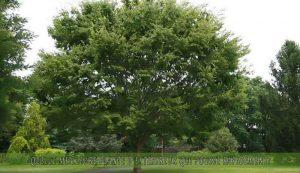 Zelcova japonais une des meilleure plante d'extérieur qui pousse rapidement