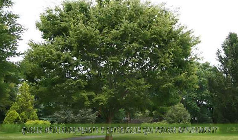 Zelcova japonais   : meilleure plante d'extérieur qui pousse rapidement