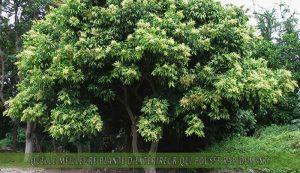 Saponaire occidental une des meilleure plante d'extérieur qui pousse rapidement