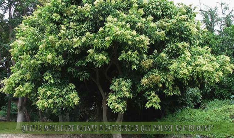 Saponaire occidental   : meilleure plante d'extérieur qui pousse rapidement