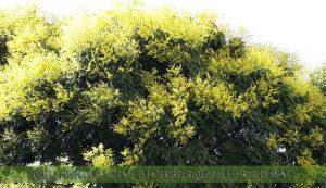 Arbre de la pluie d'or une des meilleure plante d'extérieur qui pousse rapidement