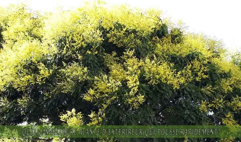 Arbre de la pluie d'or   : meilleure plante d'extérieur qui pousse rapidement