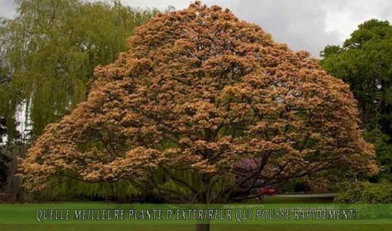 le Sycomore une   : meilleure plante d'extérieur qui pousse rapidement