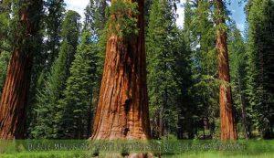le Séquoia une des meilleure plante d'extérieur qui pousse rapidement