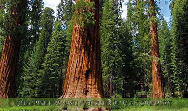 le Séquoia   : meilleure plante d'extérieur qui pousse rapidement