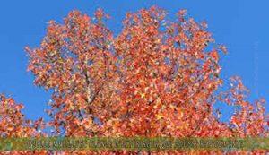 le Sweetgum une des meilleure plante d'extérieur qui pousse rapidement