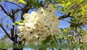 le Robinier faux-acacia une des meilleure plante d'extérieur qui pousse rapidement