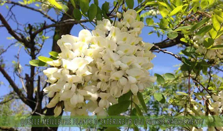 le Robinier faux-acacia   : meilleure plante d'extérieur qui pousse rapidement