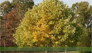 le Tulipier ou Liriodendron une des meilleure plante d'extérieur qui pousse rapidement