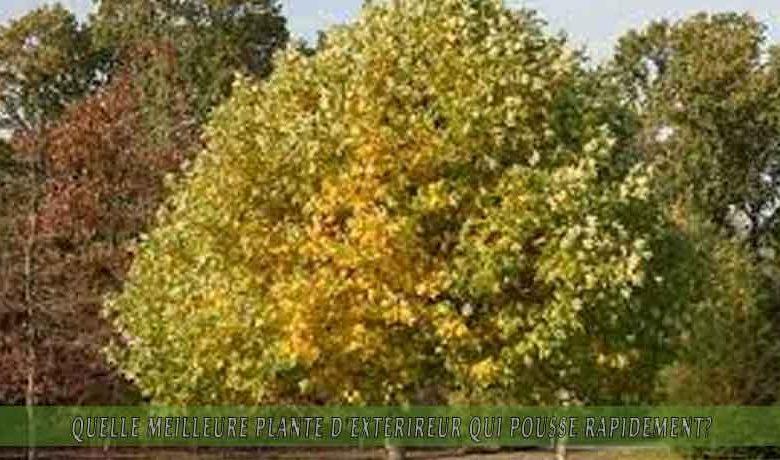 le Tulipier ou Liriodendron   : meilleure plante d'extérieur qui pousse rapidement