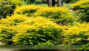 Ligustrum une des meilleure plante d'extérieur qui pousse rapidement