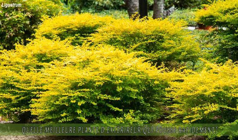 Ligustrum : meilleure plante d'extérieur qui pousse rapidement