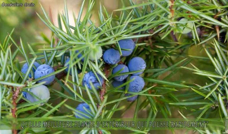 Genévriers droits  : meilleure plante d'extérieur qui pousse rapidement