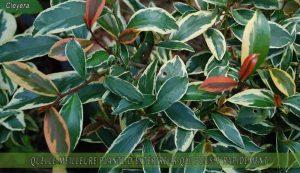 Cleyera une des meilleure plante d'extérieur qui pousse rapidement