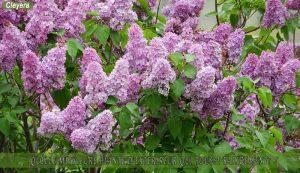 lilas une des meilleure plante d'extérieur qui pousse rapidement