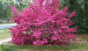 Loropetalum une des meilleure plante d'extérieur qui pousse rapidement