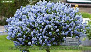 Ceanothus une des meilleure plante d'extérieur qui pousse rapidement