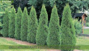 Arborvitae-Thuja Une des meilleure plante d'extérieur qui pousse rapidement