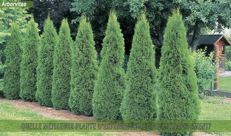 Arborvitae (Thuja) : meilleure plante d'extérieur qui pousse rapidement