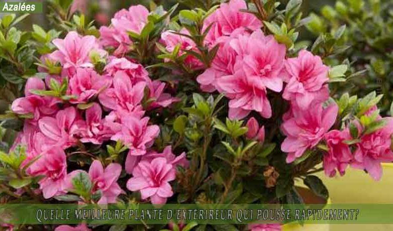 azalées : meilleure plante d'extérieur qui pousse rapidement