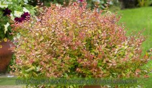 Abelia : meilleure plante d'extérieur qui pousse rapidement