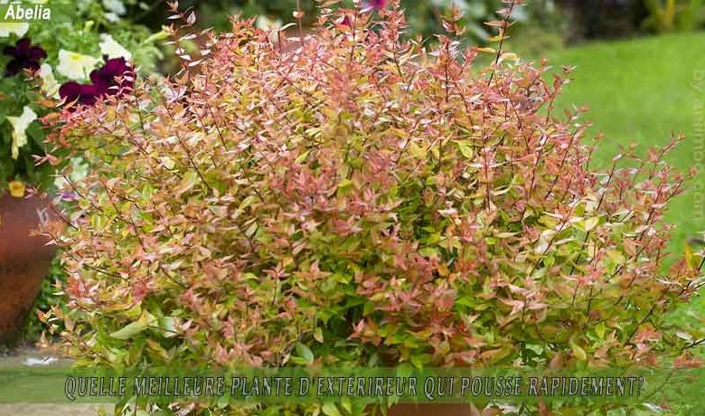 Abelia: meilleure plante d'extérieur qui pousse rapidement