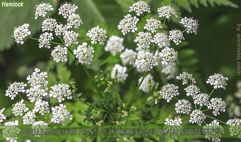 Hemlock: meilleure plante d'extérieur qui pousse rapidement