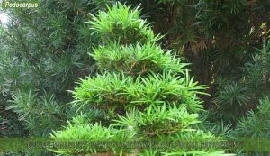 Podocarpus: meilleure plante d'extérieur qui pousse rapidement