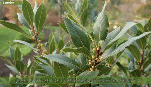 Laurier: meilleure plante d'extérieur qui pousse rapidement